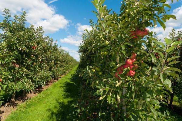 Посадка сада на даче. Как посадить фруктовый сад