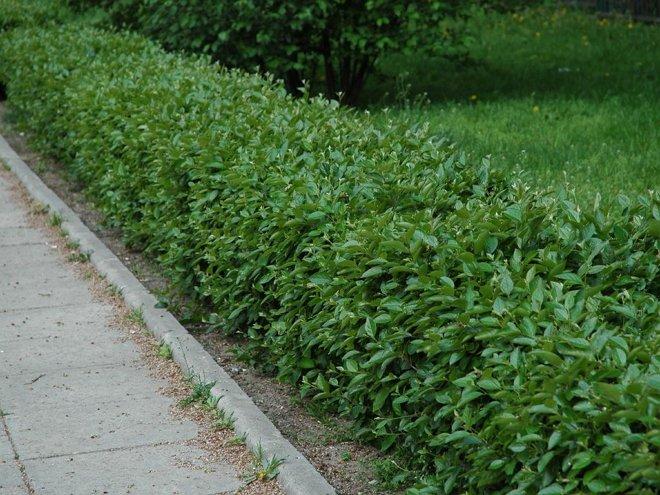 Бордюрные кусты многолетние низкорослые