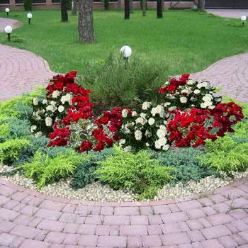 Сочетание роз на клумбе с другими цветами