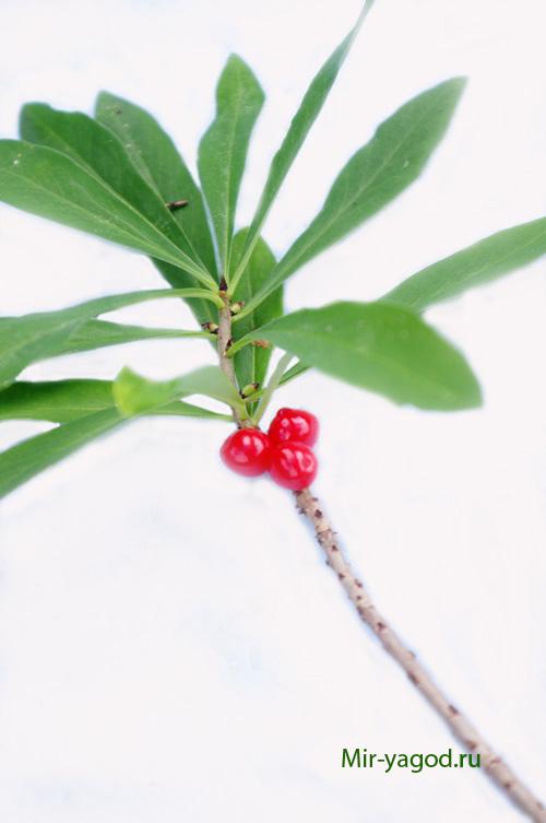 Кустарник с белыми цветами и красными ягодами
